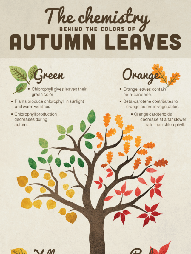 The chemistry behind the colors of autumn leaves infographic