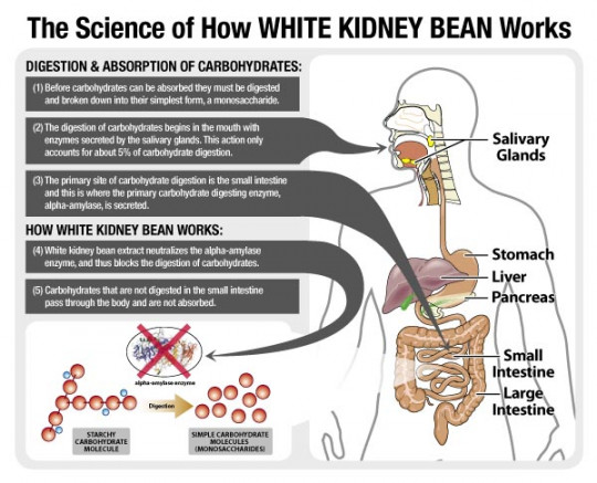 How white Kidney Bean Extract Enhances weight loss