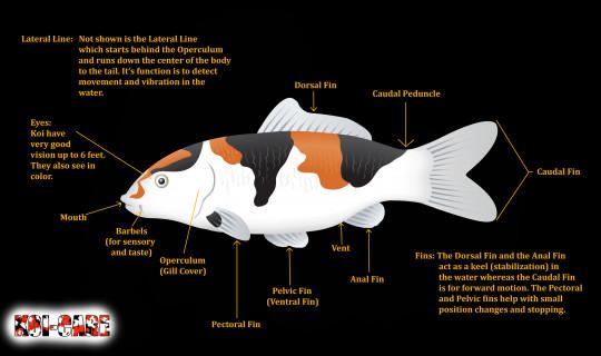 The External Anatomy of a Koi Fish Koi fish All About Koi